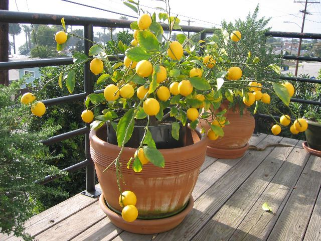 Mosmini for Growing a lemon tree in a pot from seed