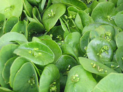 savvyhousekeeping food foraging edible weeds miner's lettuce