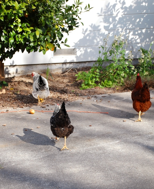 term paper in poultry Studymode - premium and free essays, term papers & book notes  essays  poultry as on a commercial scale in the private sector started due to pioneering effect .