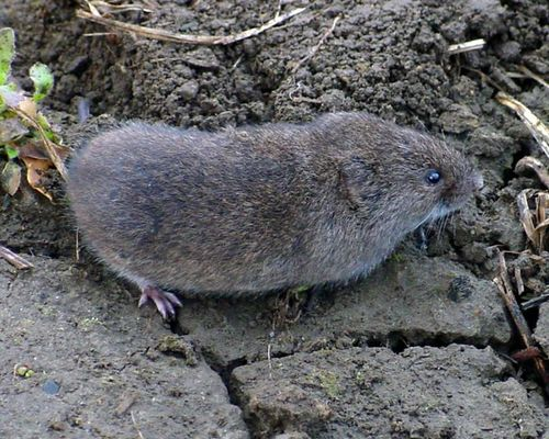 Savvy Housekeeping How To Remove Voles From Your Garden