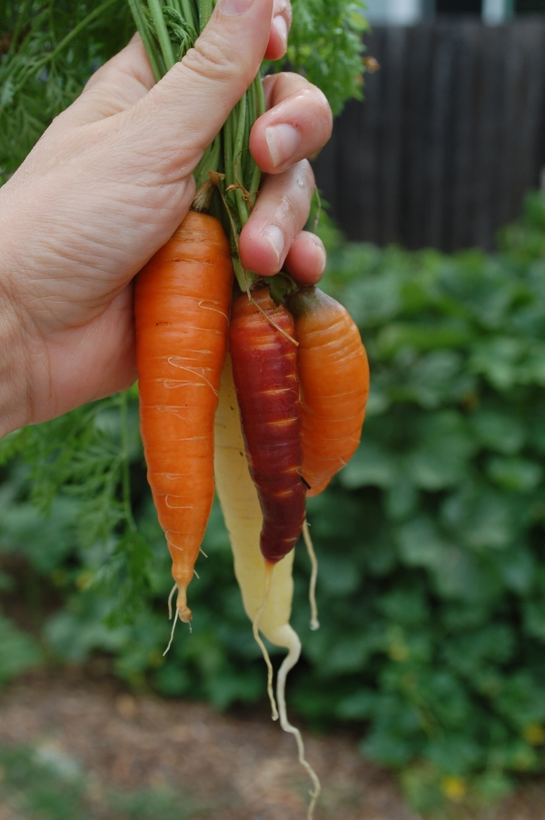 savvyhousekeeping lessons learned 2013 vegetable garden colored carrots