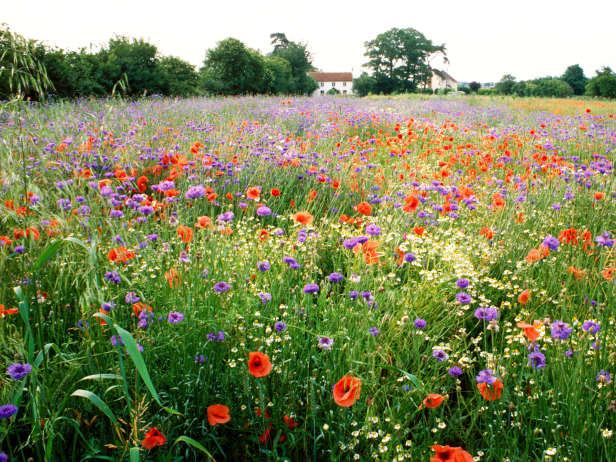 Savvy housekeeping growing a wild flower lawn for Wild grass landscaping