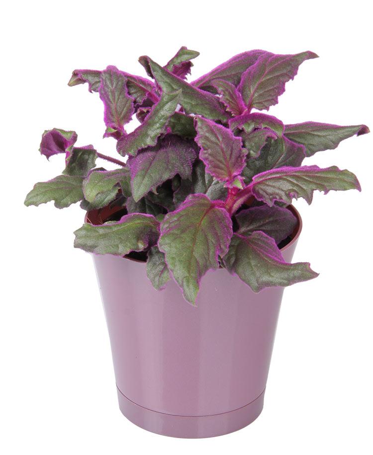 purple - Flowering House Plants Purple