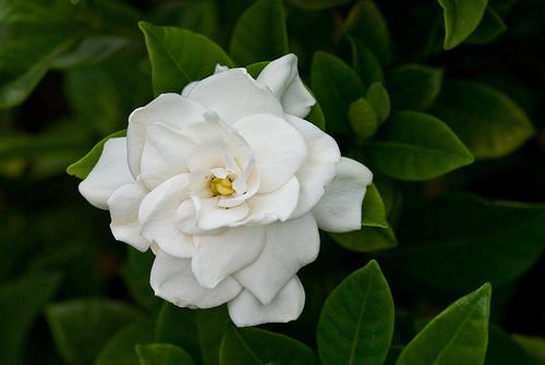 flor-de-jesus1