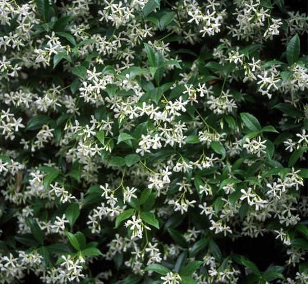 Savvy housekeeping sweet smelling flowers for the garden gardenia mightylinksfo