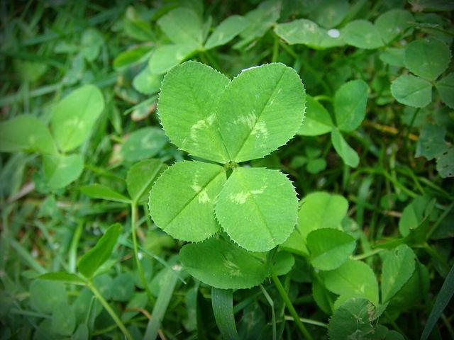 640px-4-leaf_clover