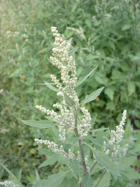 Chenopodium_album01