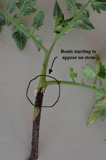 tomato-laterals7
