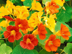 nasturtium-flowers